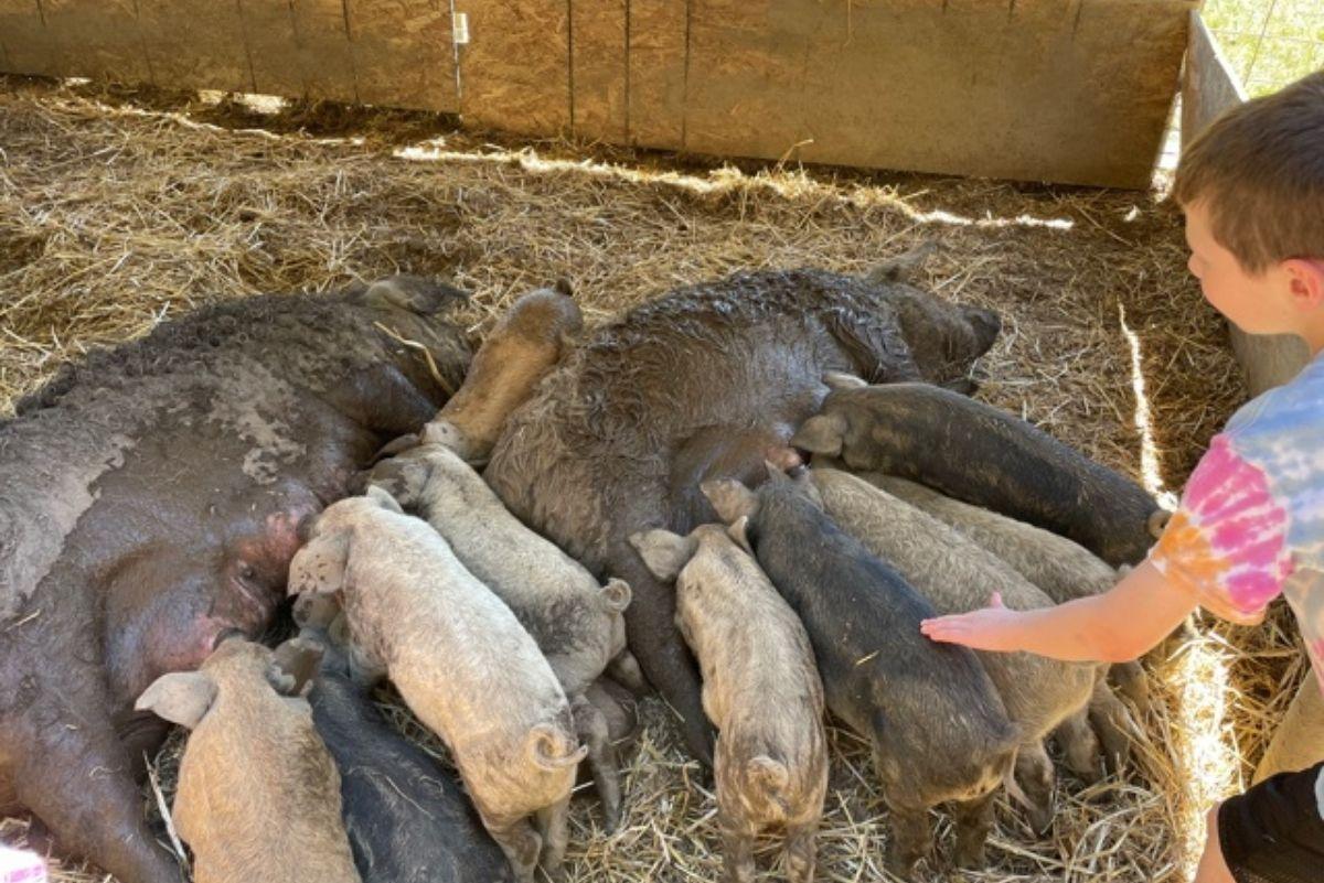 Mangalitsa Pigs Yamhill Oregon